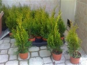 Thuja Smaragd Wachstum : zypresse thuja smaragd 20 30cm ~ Michelbontemps.com Haus und Dekorationen