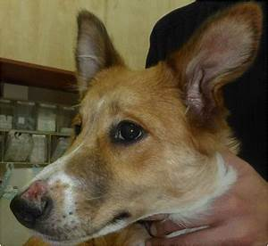 Leishmania major infection in a dog with cutaneous ...