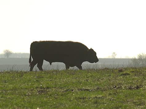 whole cottonseed ruminant non animals gossypol affect feeding negatively horses cases including farmer dtn patrico fertility bull progressive jim