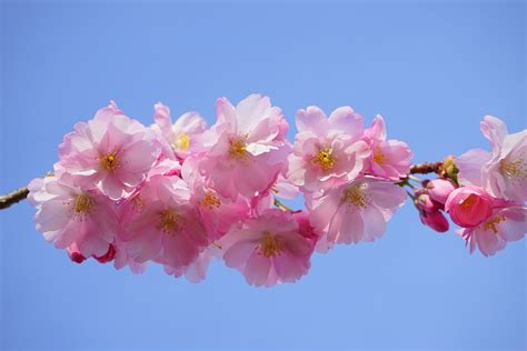 japanese trees with pink flowers free photo japanese cherry trees flowers free image on pixabay 324187