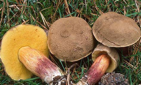 cuisiner des bolets bolets et cepes champignons