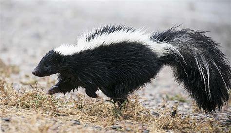 sprayed by skunk did your dog get sprayed by a skunk