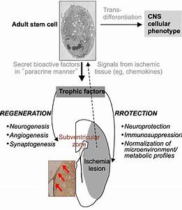 Stem Cell Mechanisms Of Action In Stroke Recovery