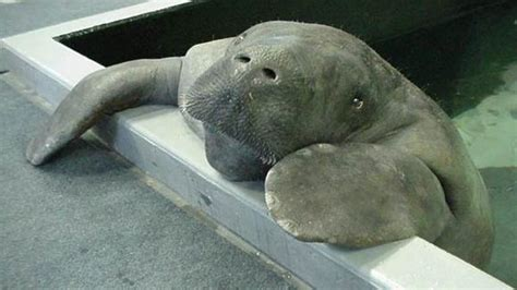 Snooty, world's oldest known manatee, dies one day after ...