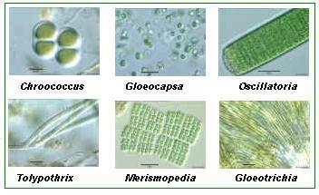 biologi cyanobacteria gangang hijau biru