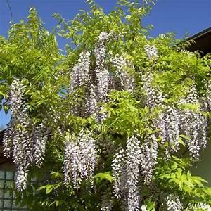Buchsbaum Weißer Befall : wei regen wei er chinesicher blauregen wisteria sinensis alba blauregen garten schl ter ~ Frokenaadalensverden.com Haus und Dekorationen