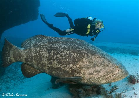 grouper goliath florida endangered fish groupers scuba critically killing protect fishing mission diving underwater sea monster stearns walt