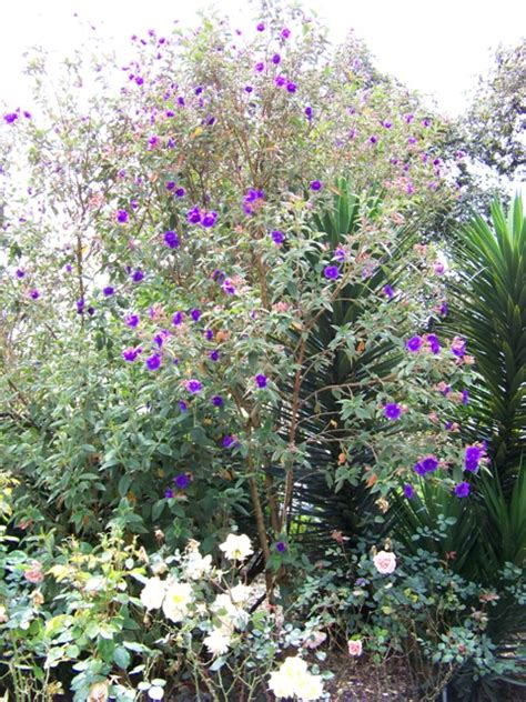 tree with small purple flowers botanic garden of quito ecuador life and culture