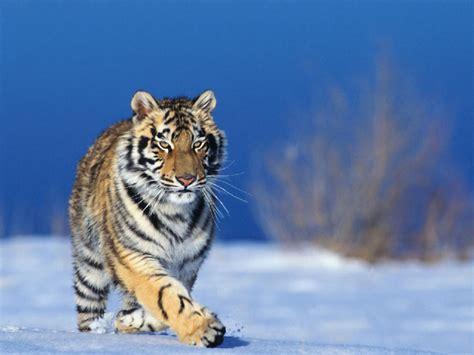Animated Running Wallpaper - running tigers fresh hd wallpapers 2013 top hd animals