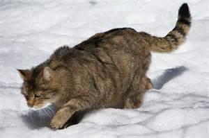 origin of domestic cats domestic cat origins is your pet merely a wildcat