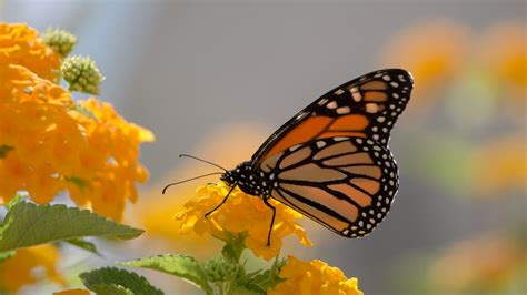 Butterfly Home Screen Wallpaper Images by Monarch Butterfly And Yellow Lanthana Desktop Wallpaper