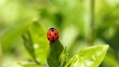 Ladybug Wallpapers Bug Lady Ladybird Backgrounds Widescreen