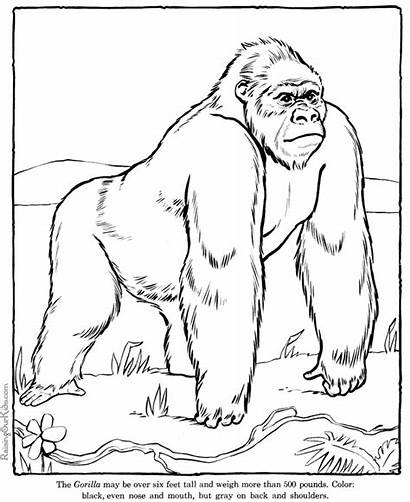 Coloring Pages Gorilla Zoo Animal Printable Animals