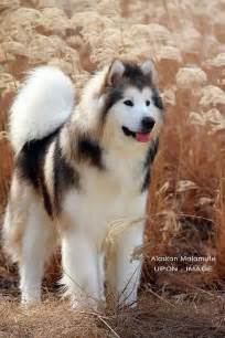 the alaskan malamute in the sun it looks like it s mixed with samoyed malamutes huskies