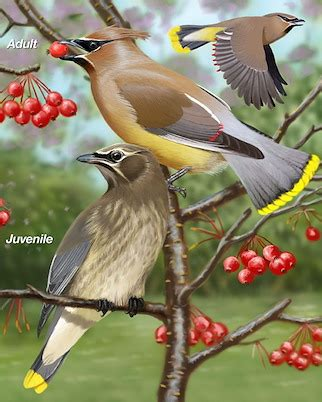 cedar waxwing whatbirdcom