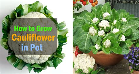 growing cauliflower  containers care   grow