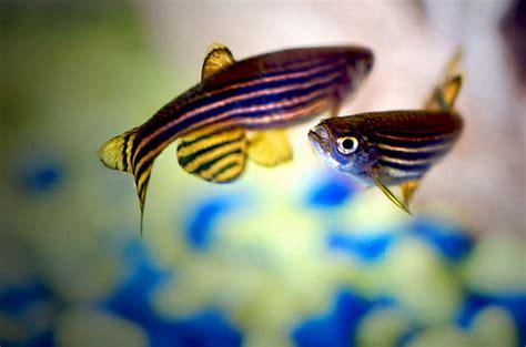 danio information types  breeding  aquarium info