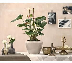 Anthurie Im Wasser : gro e flamingoblume anthurie 39 sweet lips 39 dehner ~ Yasmunasinghe.com Haus und Dekorationen
