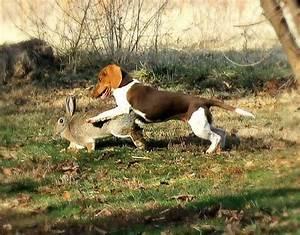 My beagle puppy rabbit hunting | Hunting | Pinterest