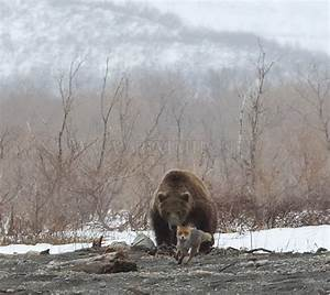 Fox Is Being Chased By A Bear