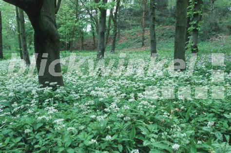 Botanischer Garten Bochum Preise by Blickwinkel Baerlauch Allium Ursinum Deutschland