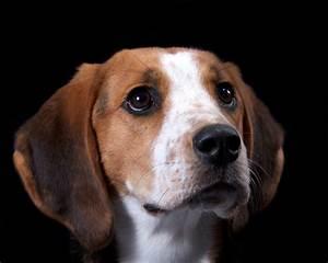 Treeing walker coonhound best bully sticks for Puppy dog walker