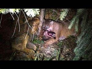 Image Gallery mountain lion attacks wolf