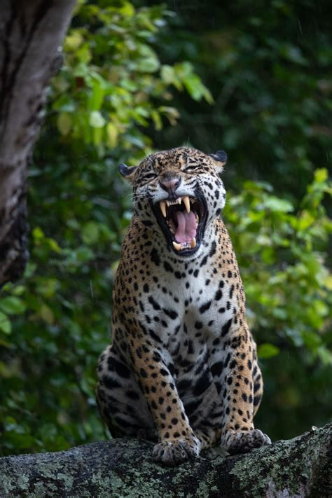 Brazil   One Very Concerned Jaguar