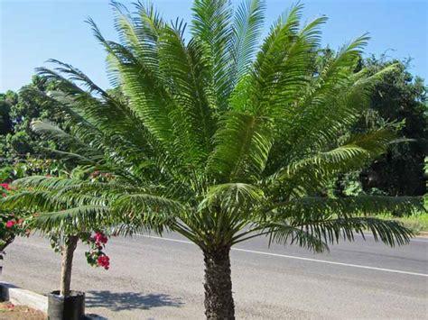 sago palm height queen sago palm ola brisa gardens
