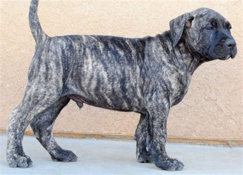 bred si鑒e social perro de presa canario puppies pixshark com images galleries with a bite