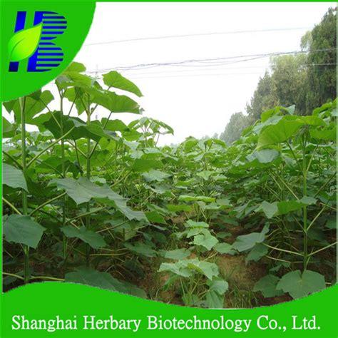 germination rapidement paulownia elongata semences 224