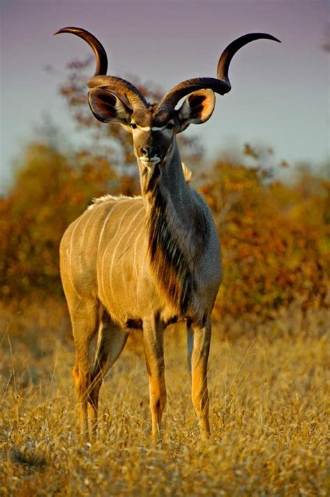 vols animal volunteer with via volunteers in south africa and see our beautiful kudu african wildlife