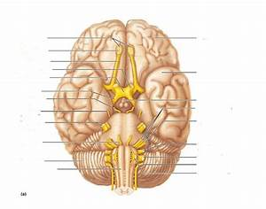 Label The Cranial Nerves