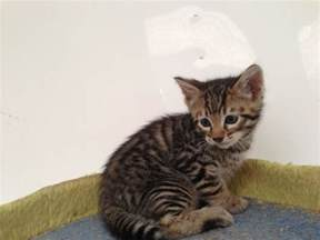 toyger cats toyger bromsgrove worcestershire pets4homes