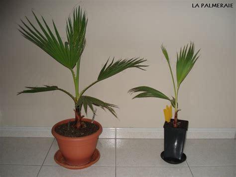comment planter un palmier en pot 28 images palmier nain en pot de 25l 60 80cm de haut vente