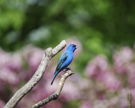 How To Attract Indigo Buntings To Your Backyard by Learn How To Attract Indigo Buntings