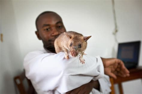 Giant Rats Trained To Sniff Out Tuberculosis In Africa