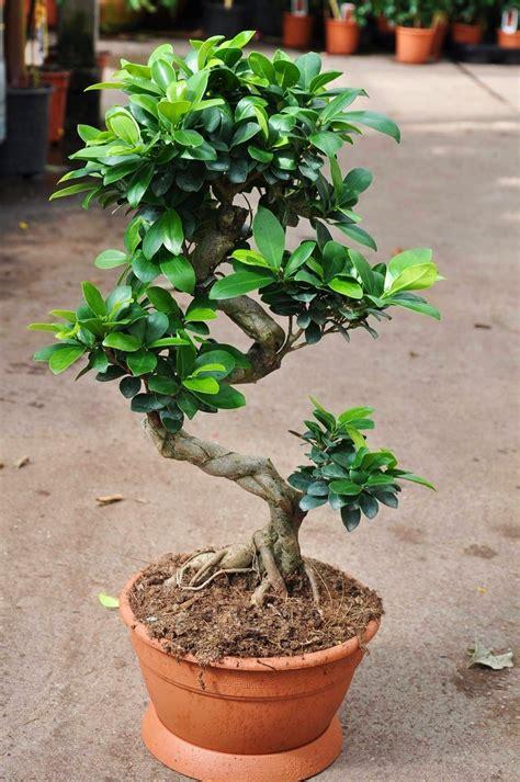 Ficus Pflanze Pflege by Ficus Chinesische Feige Ficus Ginseng Bonsai Ficus