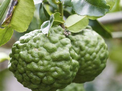 vertus de la bergamote sur la santé ooreka