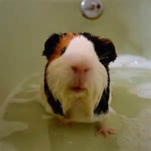 Guinea Pig Shower by Guinea Pig O Guinea Pigs Pinterest