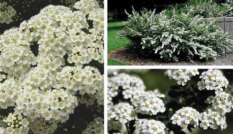 small white border flowers flowering evergreen shrubs full sun www pixshark com images galleries with a bite