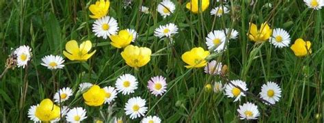 isle  iona wild flowers