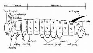 Luna Moth Digestive System