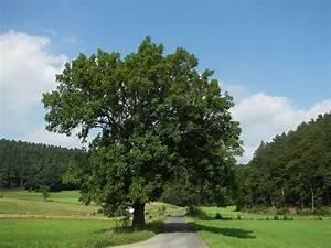 Linde Baum Steckbrief : gemeine esche wikipedia ~ Orissabook.com Haus und Dekorationen