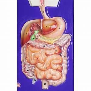 Large Intestine Definition Biology Quizlet