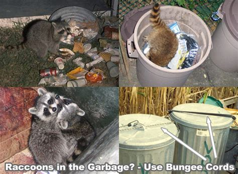 raccoon prevention    raccoons