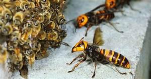 Absurd Creature Of The Week  The Huge  Bee