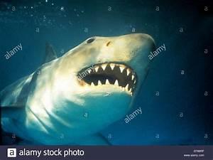GREAT WHITE SHARK JAWS (1975 Stock Photo, Royalty Free ...