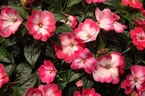 new guinea impatiens harmony radiance pink new guinea impatiens impatiens hawkeri harmony radiance pink in