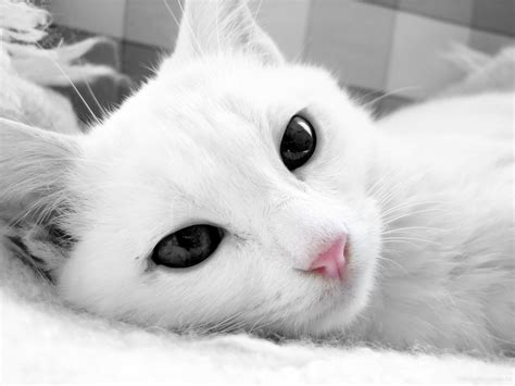 cute cat wallpapers  images